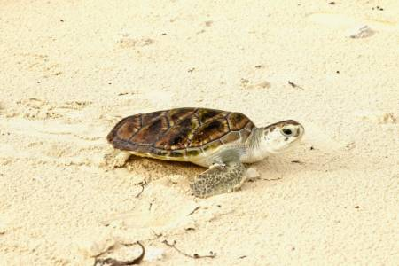 Olive Ridley Project to host 'Vaavoshi Turtle Festival' in Baa Atoll